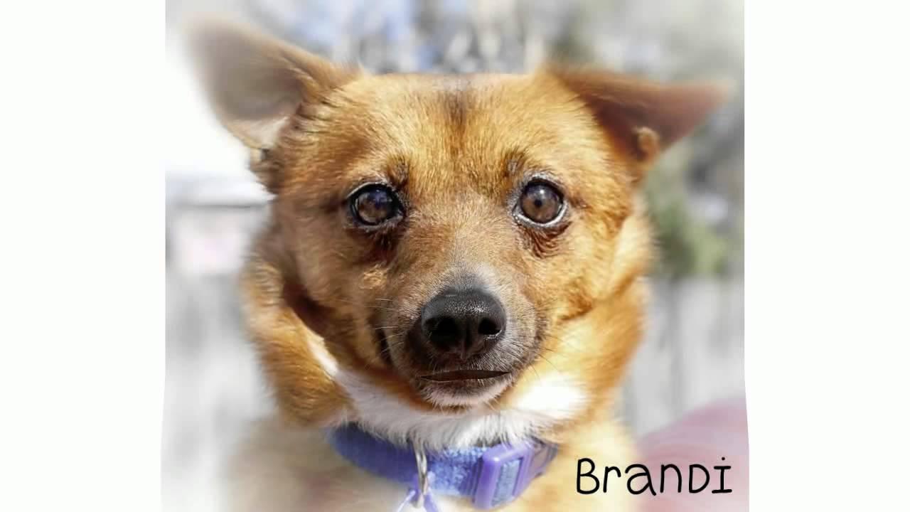 Tenterfield Terrier Dog: Tenterfield Watch Breed