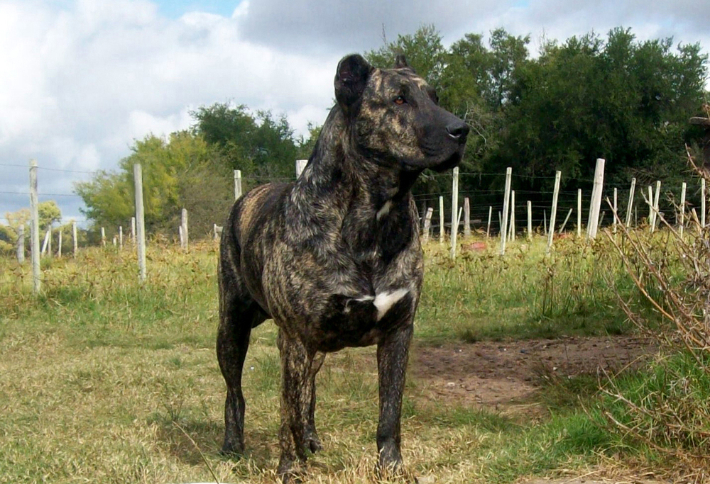 Terceira Mastiff Dog: Terceira Animale Breed