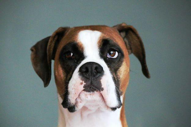 Terceira Mastiff Dog: Terceira Boxers Breed