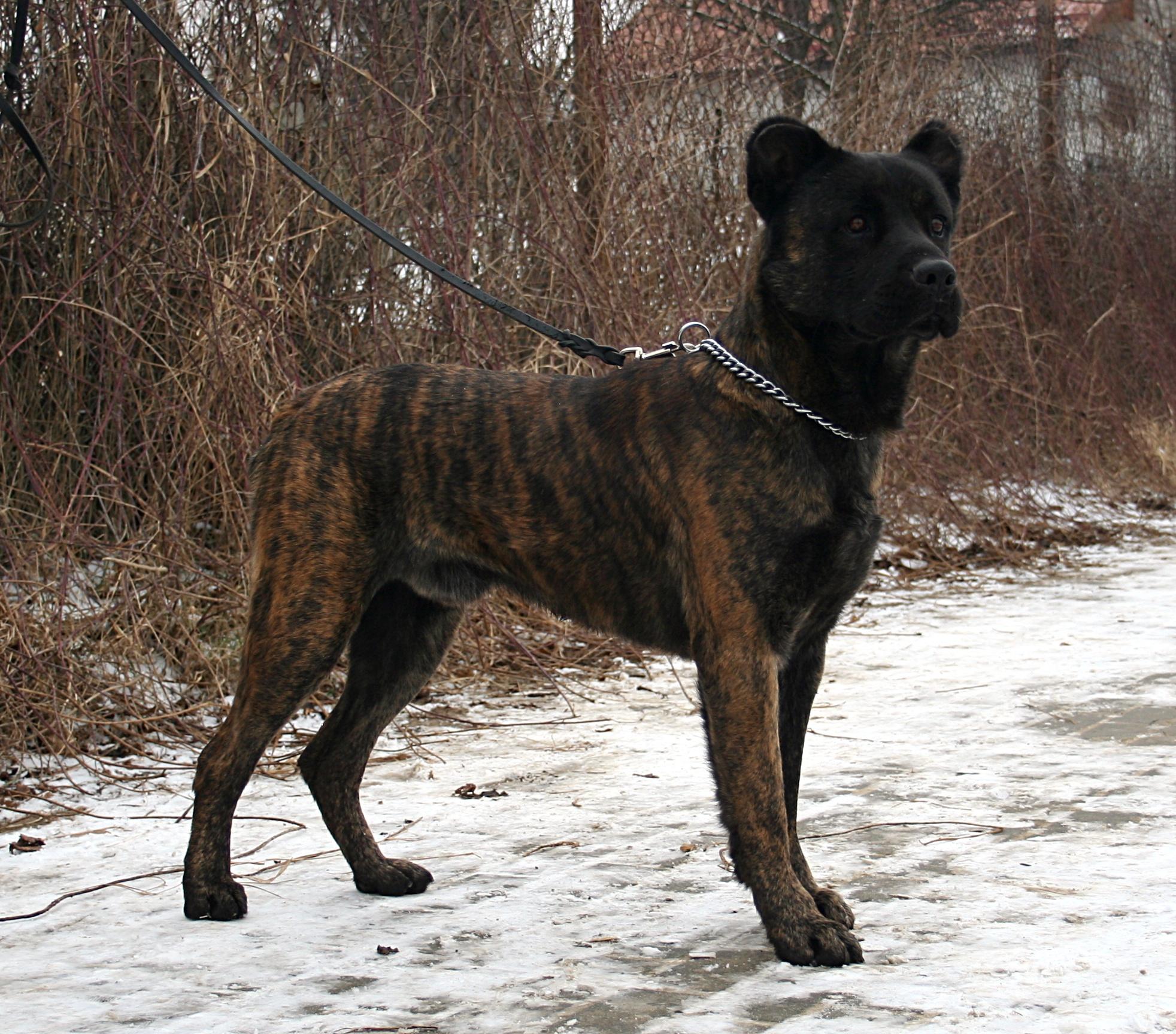 Terceira Mastiff Dog: Terceira Breed