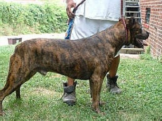 Terceira Mastiff Dog: Terceira Co De Fila De So Miguel Breed