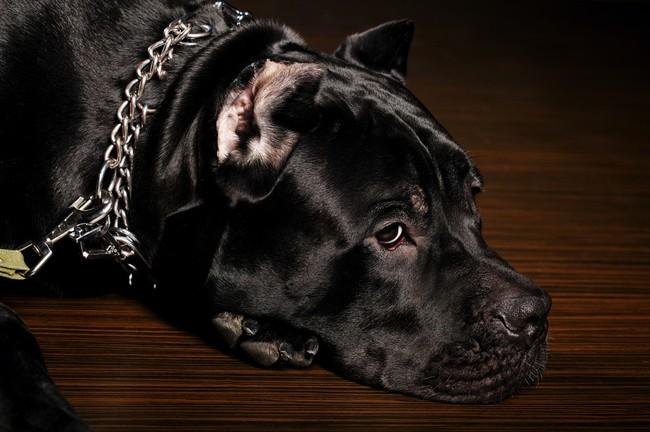 Terceira Mastiff Dog: Terceira Czy Molosy To Niebezpieczne Psy Breed