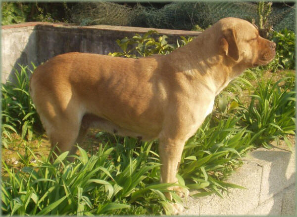 Terceira Mastiff Dog: Terceira Display Breed