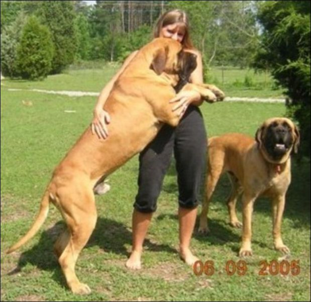 Terceira Mastiff Puppies: Terceira Hugedogspics Breed
