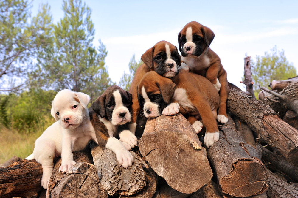 Terceira Mastiff Puppies: Terceira Know About Boxer Breed