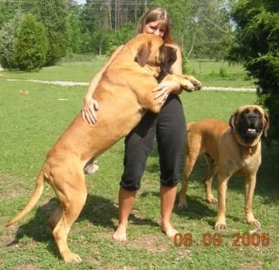 Terceira Mastiff Puppies: Terceira Loss Of World Developed Dog Breeds