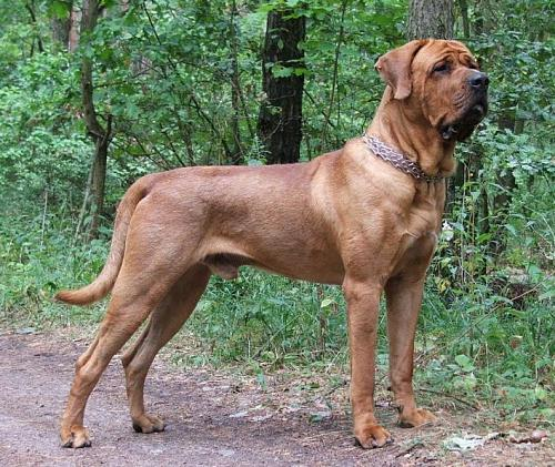 Terceira Mastiff Dog: Terceira Which Dog Breeds Are Banned In The Uk