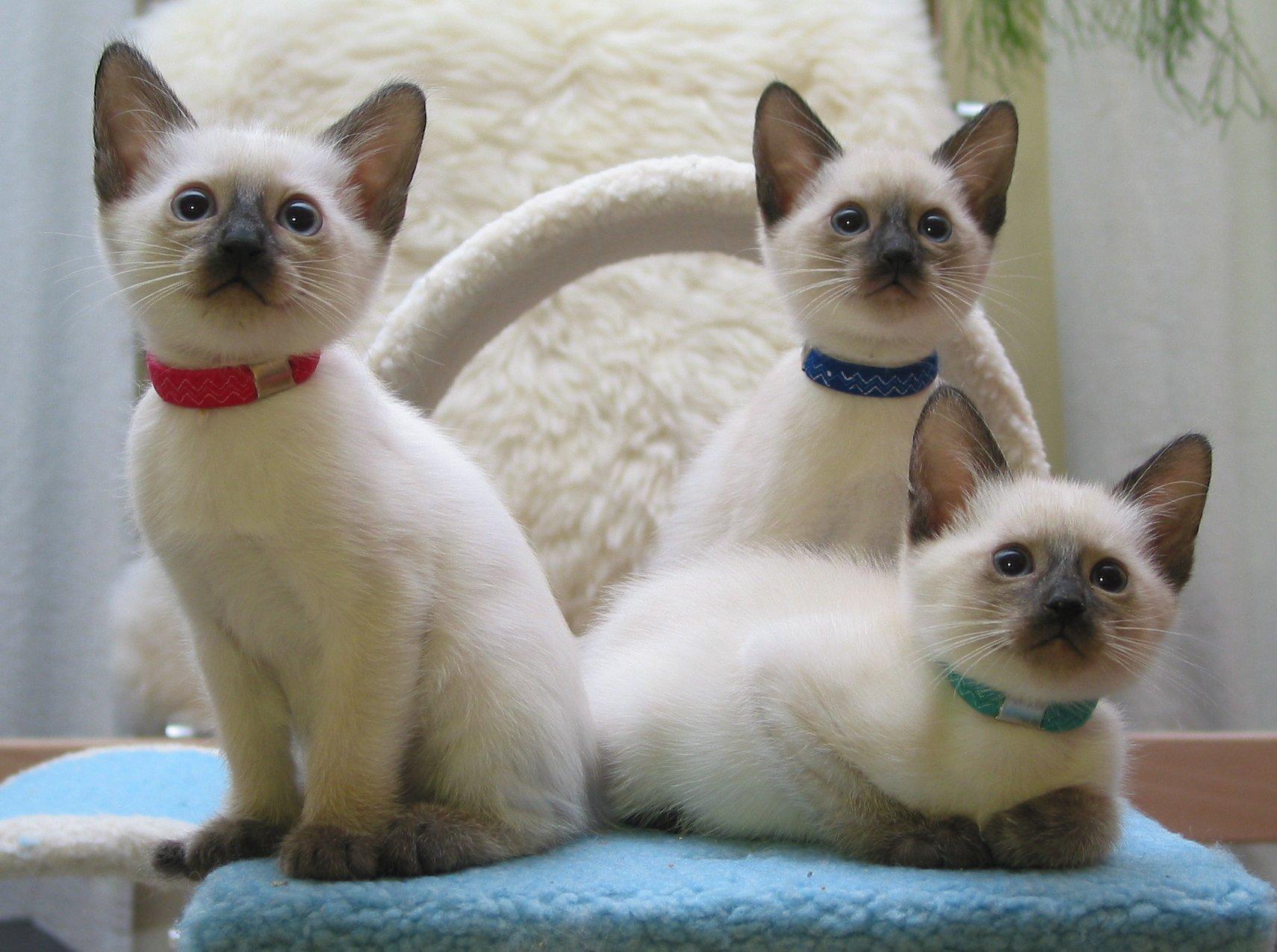 Thai Kitten: Thai A Wurf Breed
