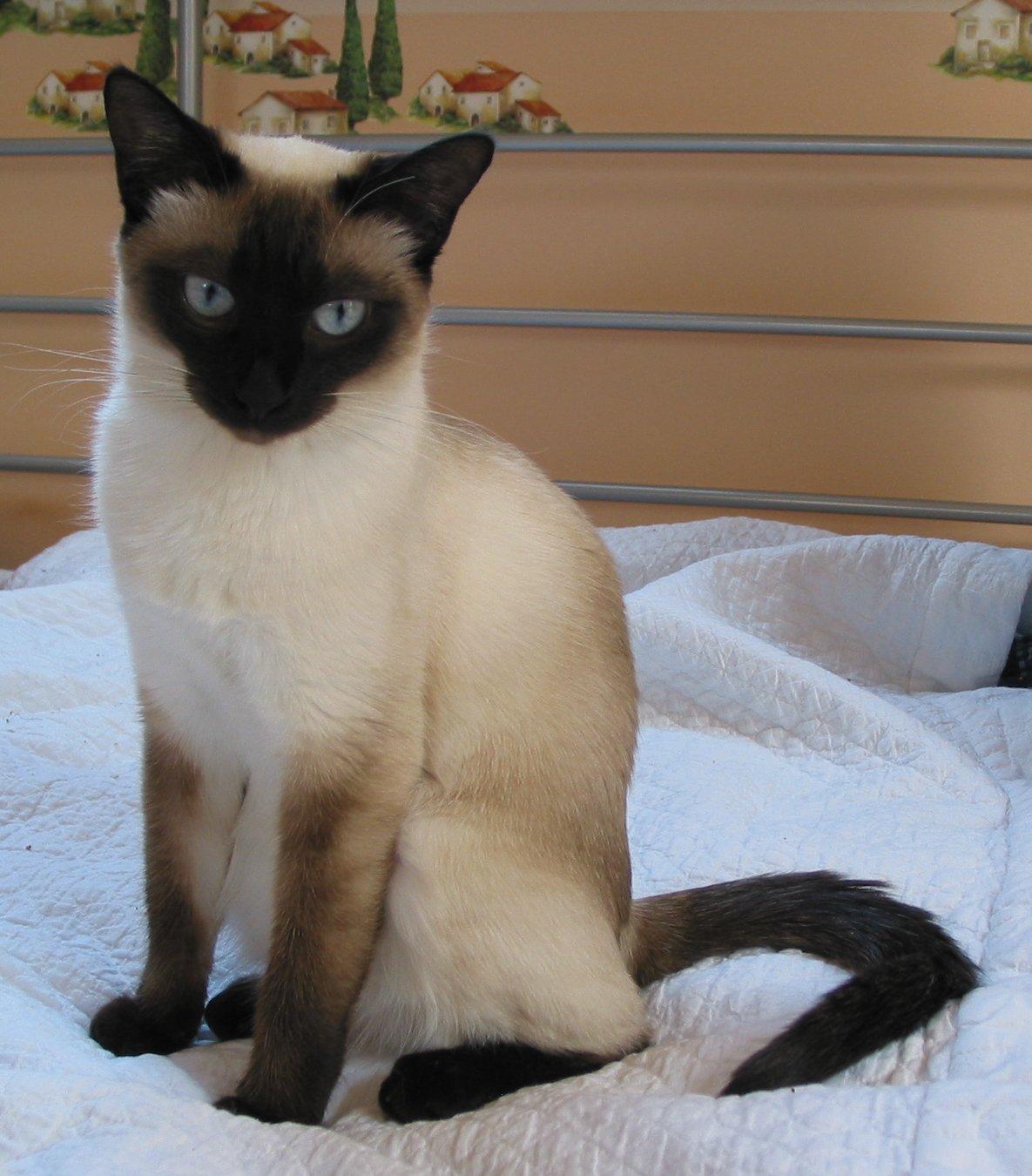 Thai Kitten: Thai Athene Breed