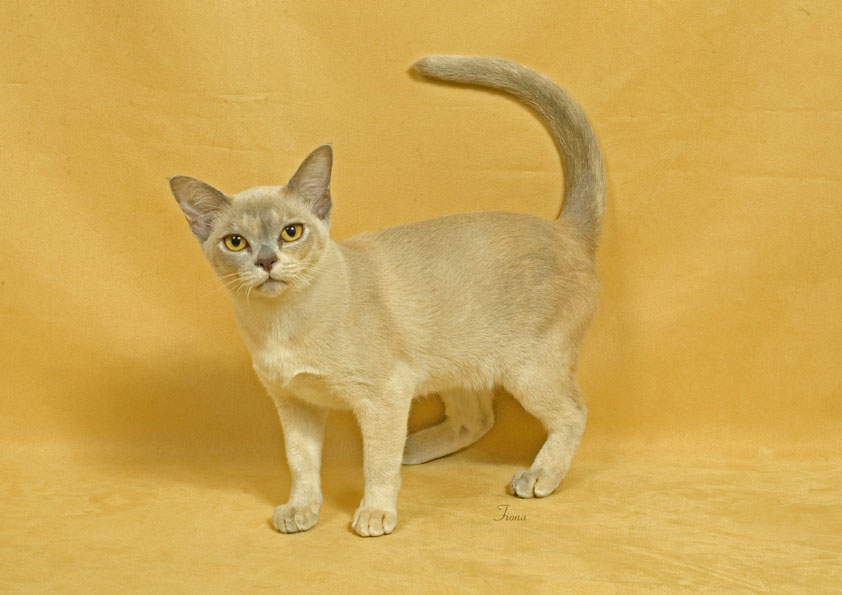 Thai Lilac Kitten: Thai Burmese Breed