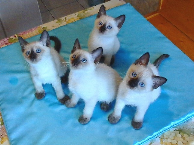 Thai Cat: Thai Engmain Breed