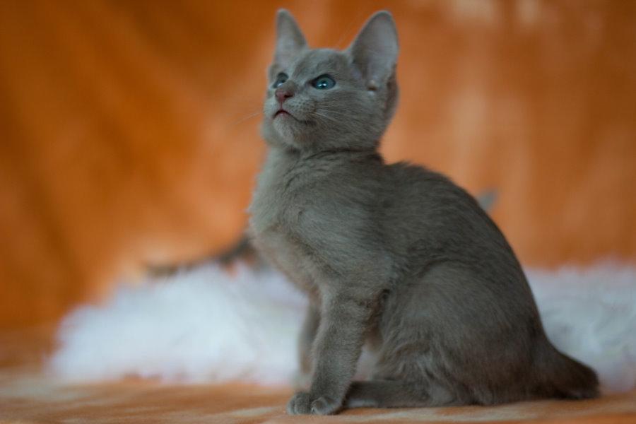 Thai Lilac Kitten: Thai Farbethaikatzesiamkatze Breed