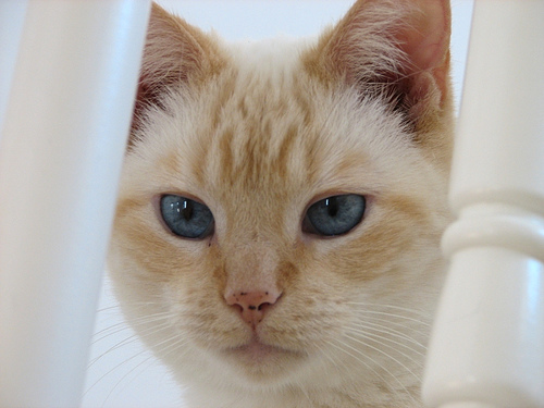 Thai Lilac Kitten: Thai Flame Point Siamese Cat Sabrina Breed