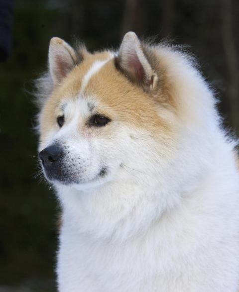 Thai Bangkaew Dog: Thai Hundrasen Thai Bangkaew Dog Breed