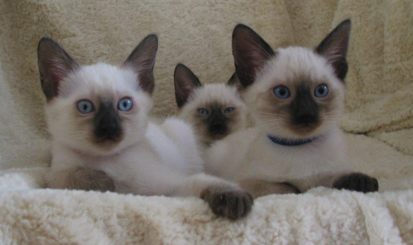 Thai Kitten: Thai Kassiopejwuerfe Breed