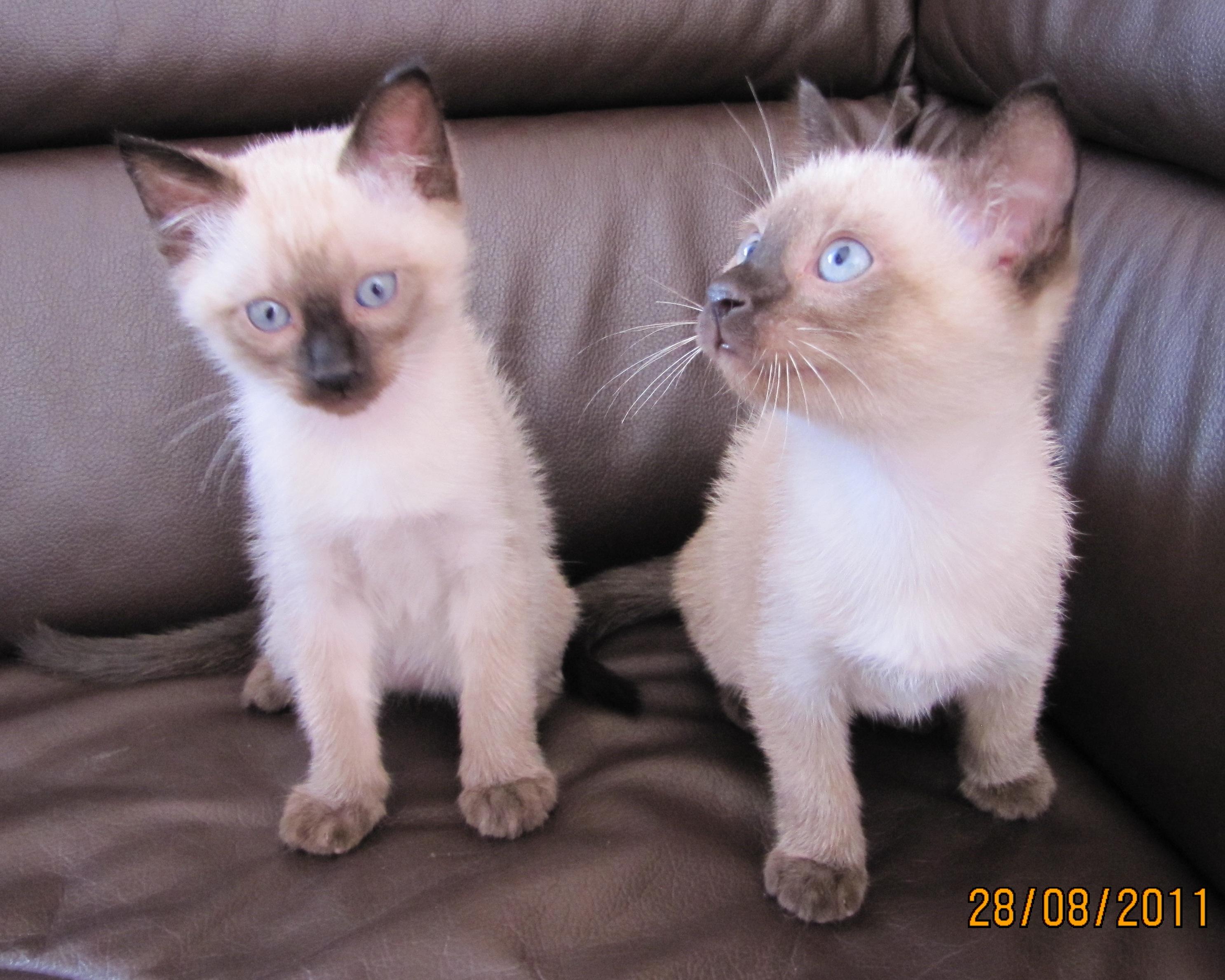 Thai Kitten: Thai Katzen Rassekatzen Siam Page Breed