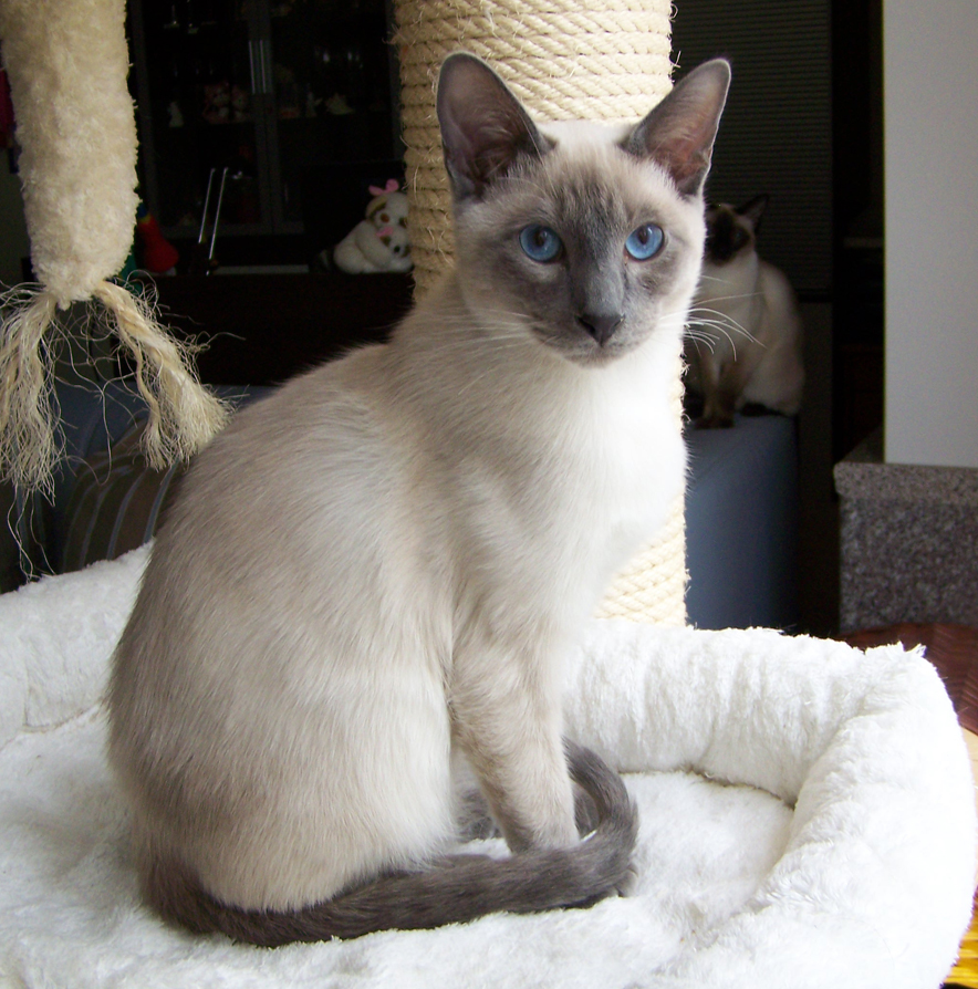 Thai Lilac Kitten: Thai Katzen Rassekatzen Thai Breed