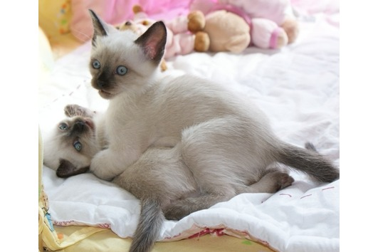 Thai Kitten: Thai Katzen Rassekatzen Thai Page Breed