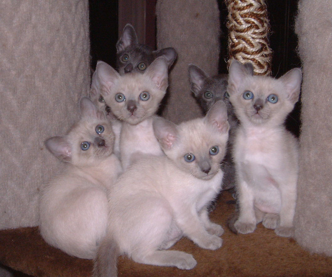 Thai Kitten: Thai Kittens Breed