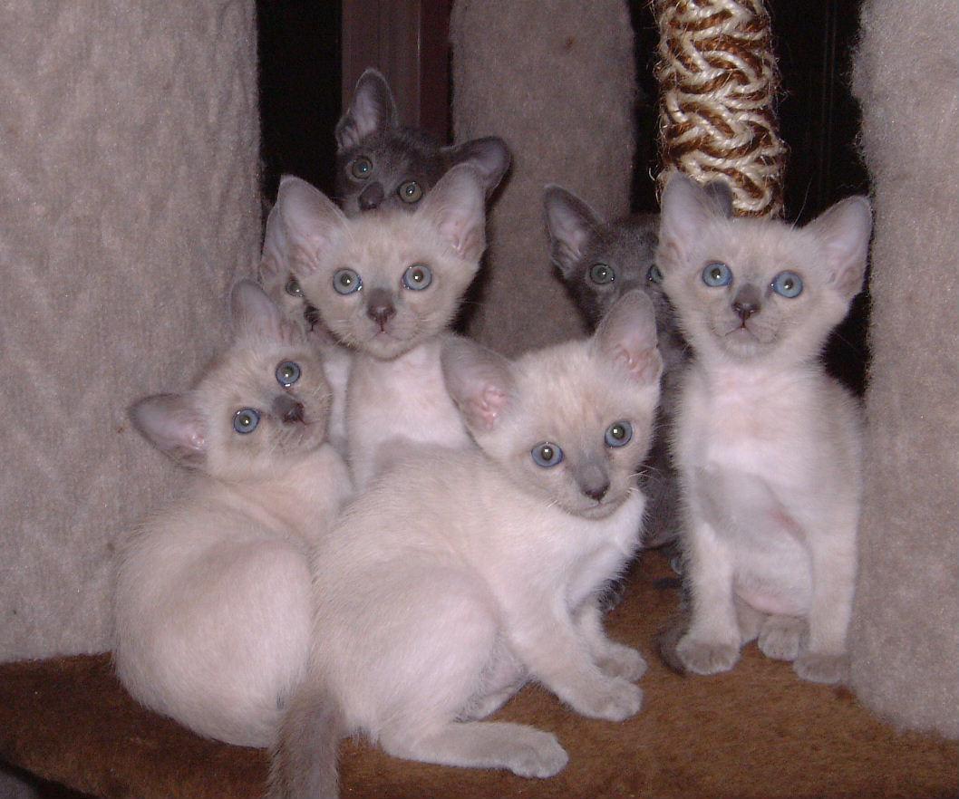 Thai Kitten: Thai Kittens Breed
