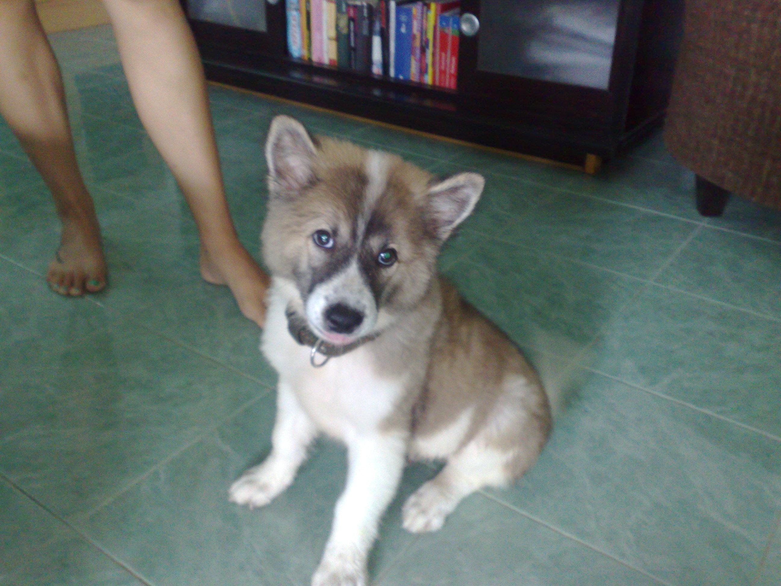 Thai Bangkaew Dog: Thai Leo Der Thai Bangkaew Welpe Breed