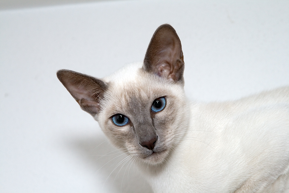 Thai Lilac Cat: Thai Lilac Point Siamese Cats Breed
