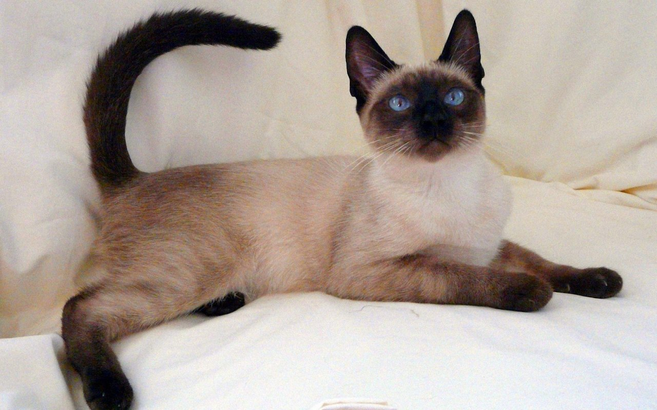 Thai Lilac Cat: Thai Lovely Siamese Cat X Breed