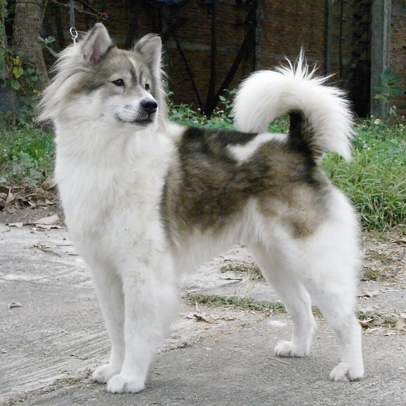 Thai Bangkaew Dog: Thai Phuket Pets Breed Of The Month Thai Bang Kaew