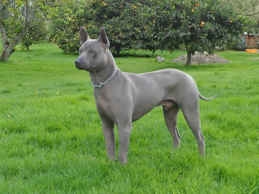 Thai Ridgeback Puppies: Thai Puppies For Sale Breed