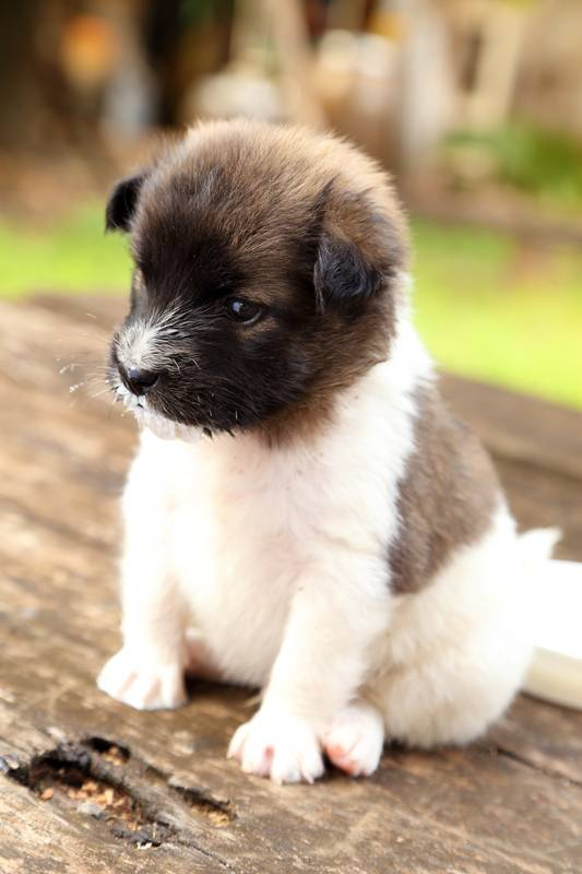 Thai Bangkaew Dog: Thai R Breed