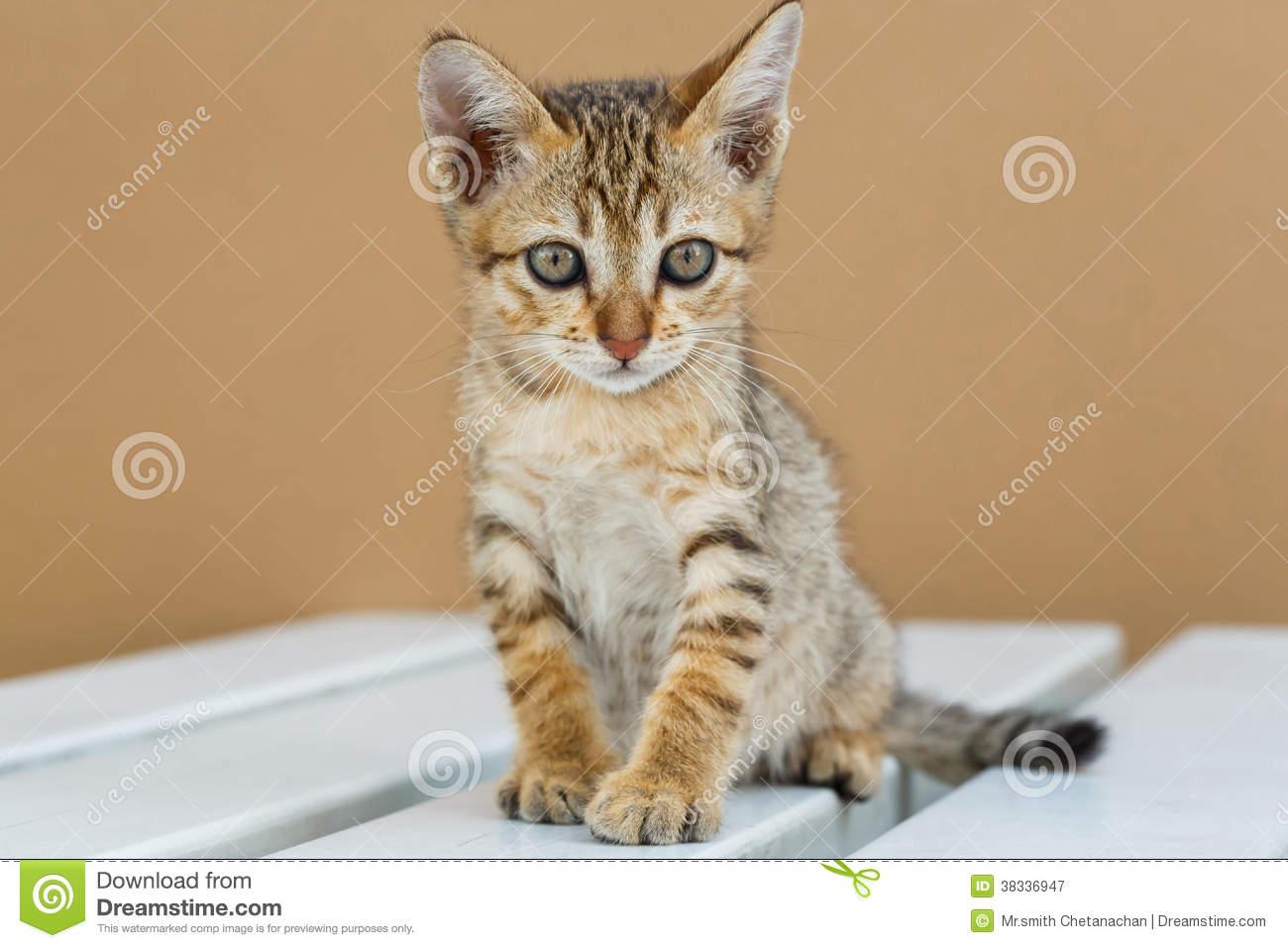 Thai Kitten: Thai Royalty Free Stock Graphy Cute Thai Kitten Breed