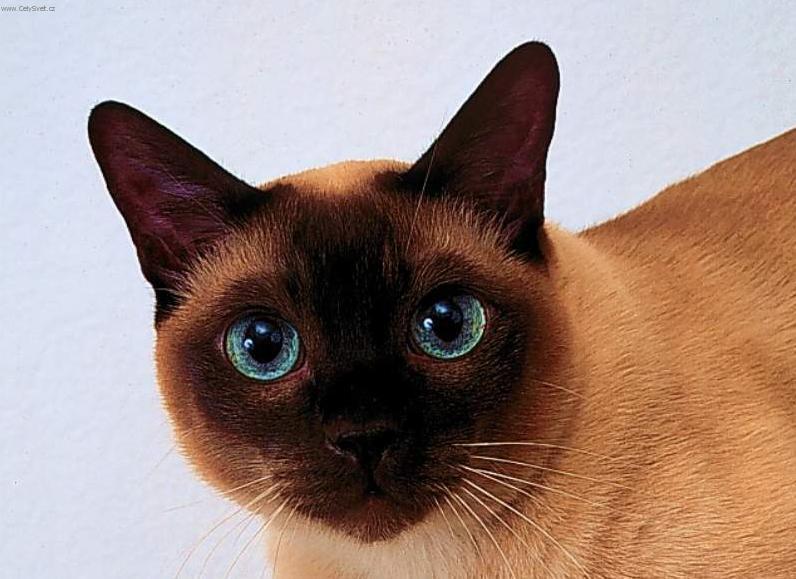 Thai Cat: Thai S Breed