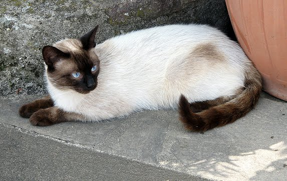 Thai Lilac Cat: Thai Seal Point Siamese With Bit Of Tabby Breed