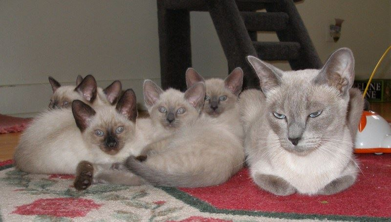 Thai Lilac Cat: Thai Siamese Kittens Breed