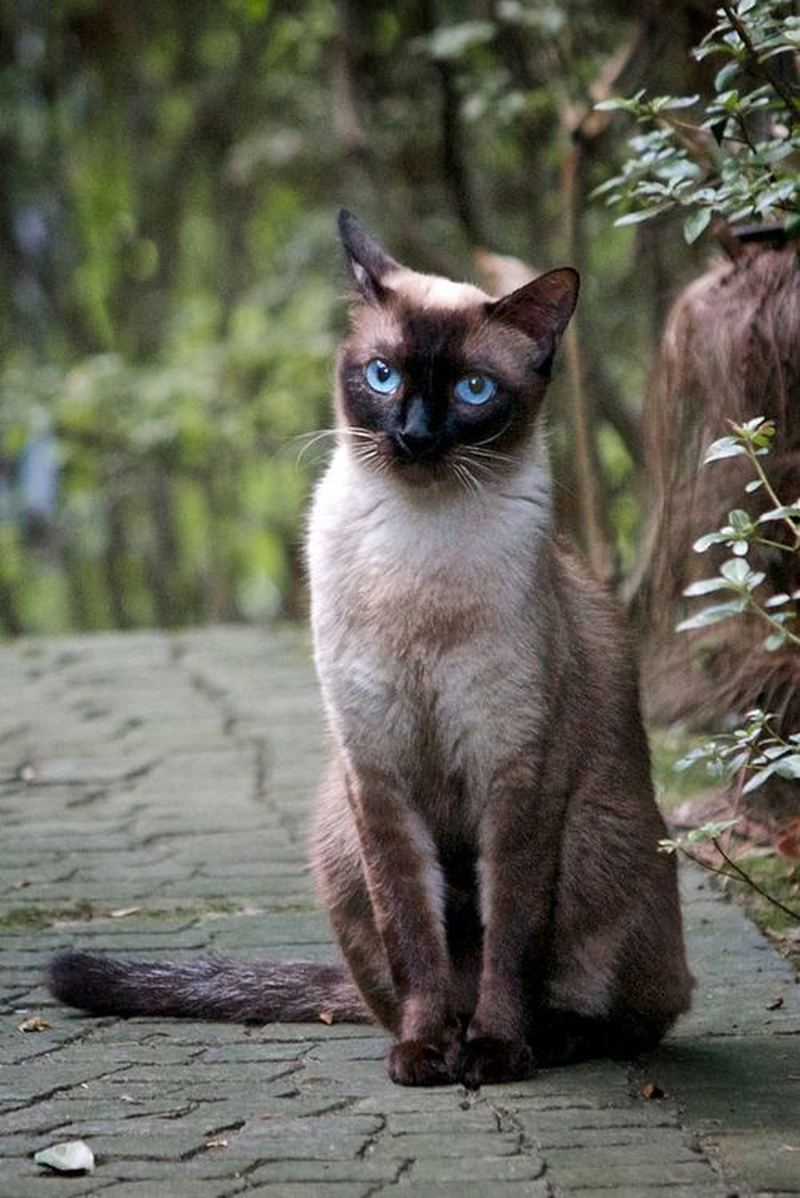 Thai Cat: Thai Tajskaja Poroda Koshek Thai Cat Breed