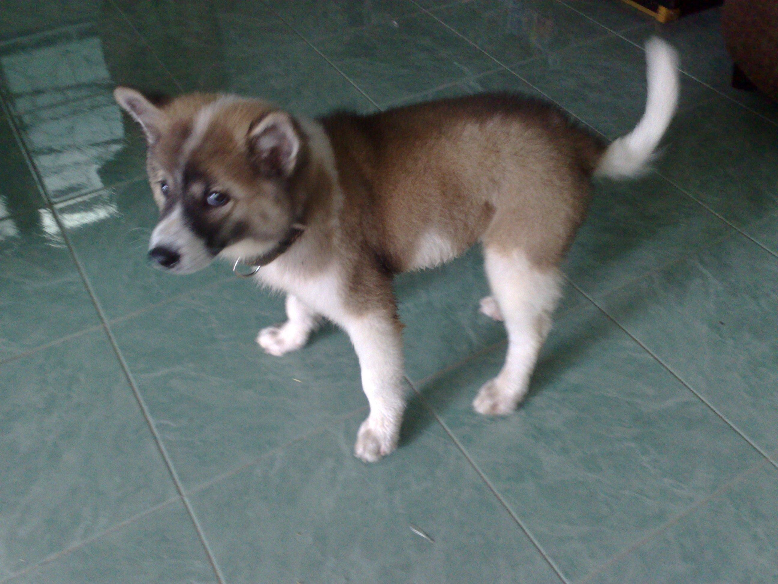Thai Bangkaew Dog: Thai Thai Bangkaew Dog Puppy Breed