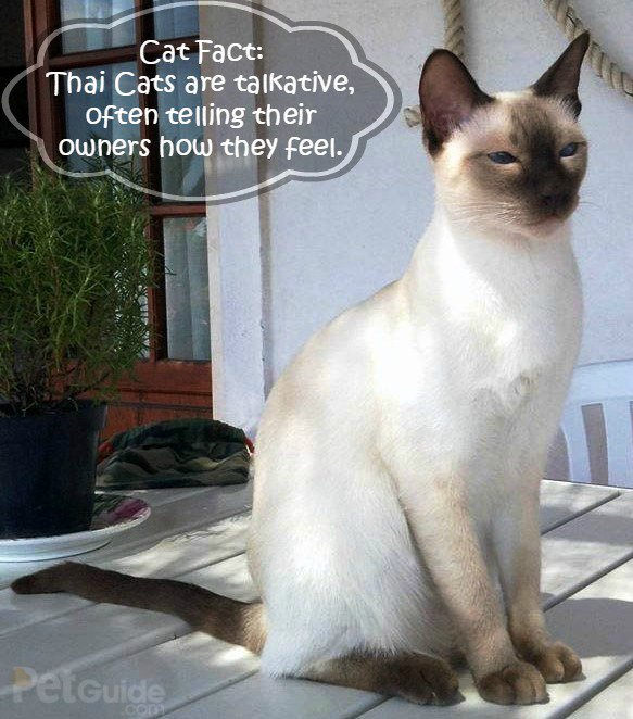 Thai Cat: Thai Thai Cat Breed