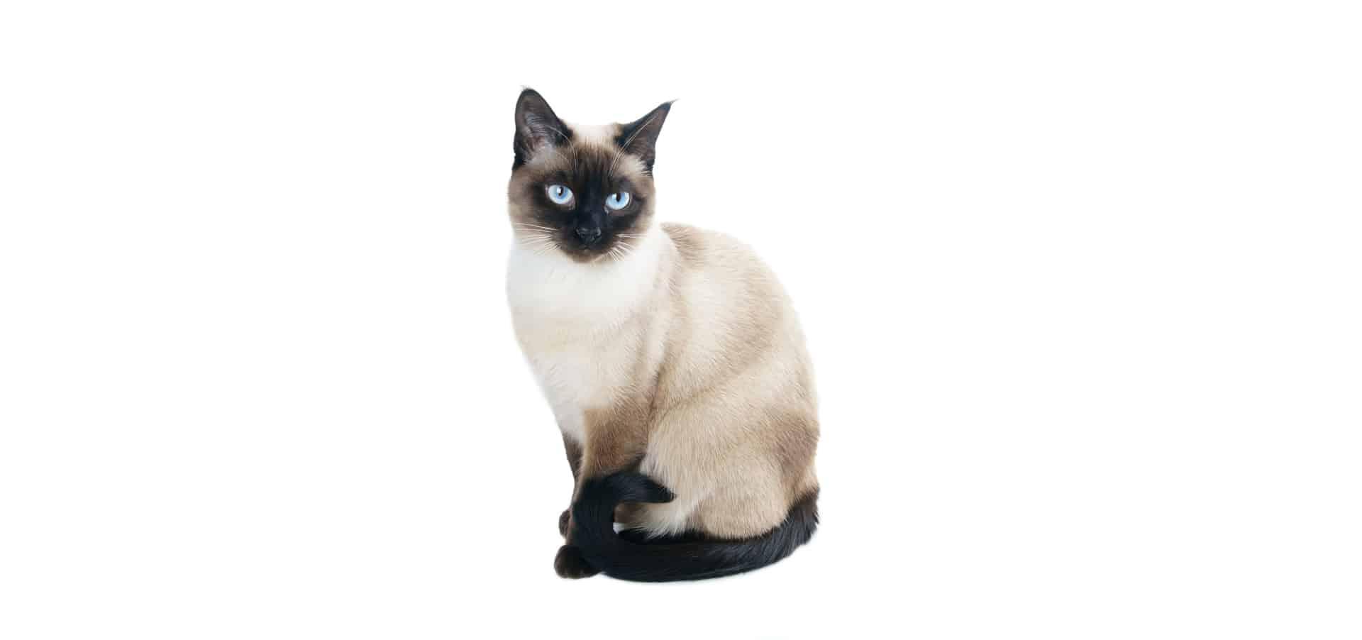 Thai Cat: Thai Thai Cat Insurance Breed