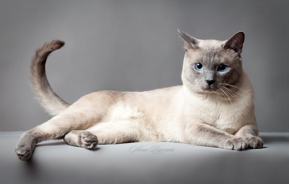 Thai Cat: Thai Thai Cat Portrait Breed