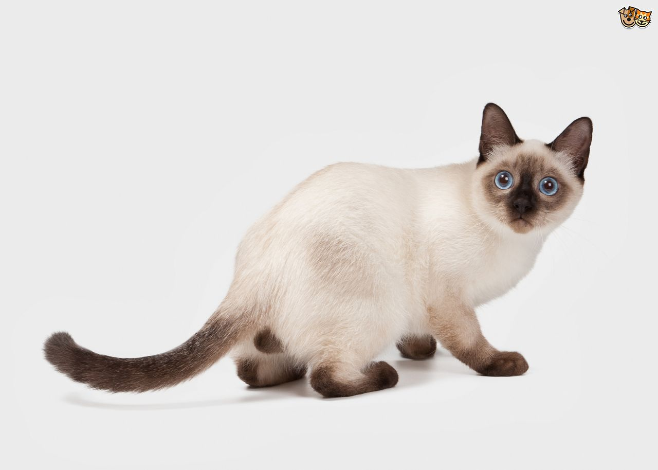Thai Cat: Thai Thai Cats The Original Descendent Of The Landrace Cats Of Thailand Breed
