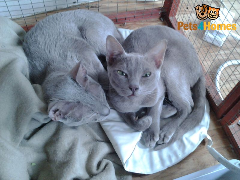 Thai Lilac Cat: Thai Thai Lilac Kittens Retford Breed
