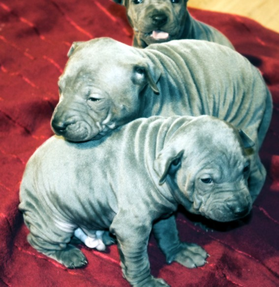 Thai Ridgeback Puppies: Thai Thairidgebackpuppies Breed