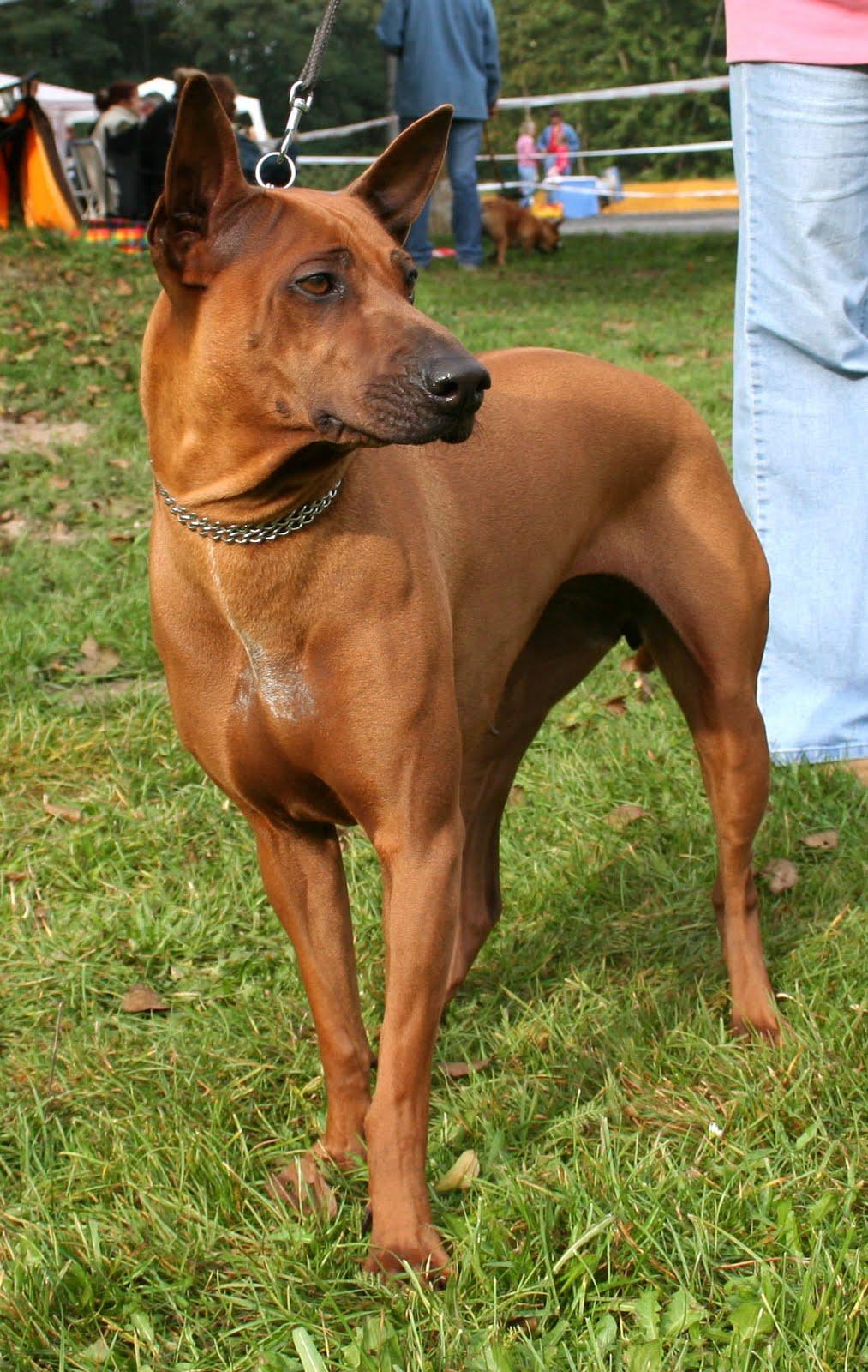 Thai Ridgeback Dog: Thai Unusual Breed Thai Ridgeback