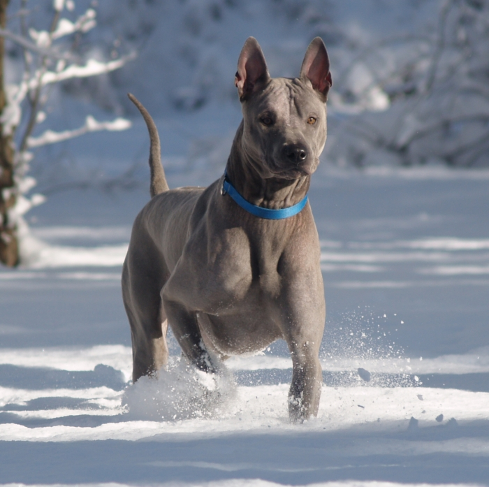 Thai Ridgeback Dog: Thai Z Breed
