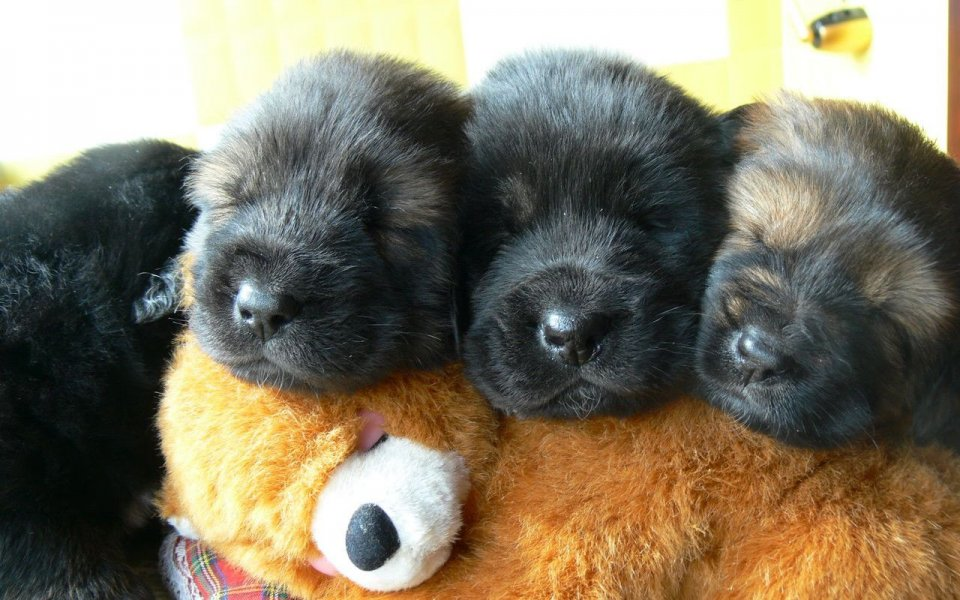 Tibetan Mastiff Puppies: Tibetan Animalss Breed