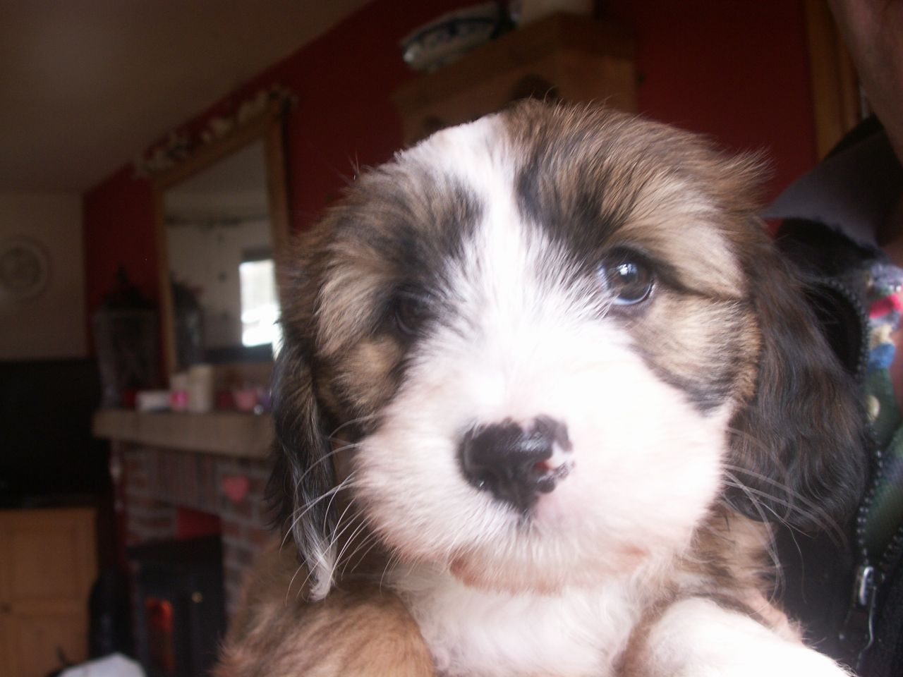 Tibetan Terrier Puppies: Tibetan Beautiful Tibetan Terrier Puppies Carlisle Breed