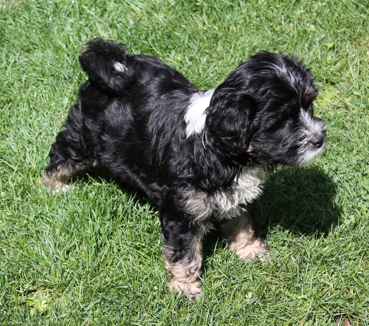 Tibetan Terrier Dog: Tibetan Dog And Bitch Tibetan Terrier Puppies For Sale Retford Breed