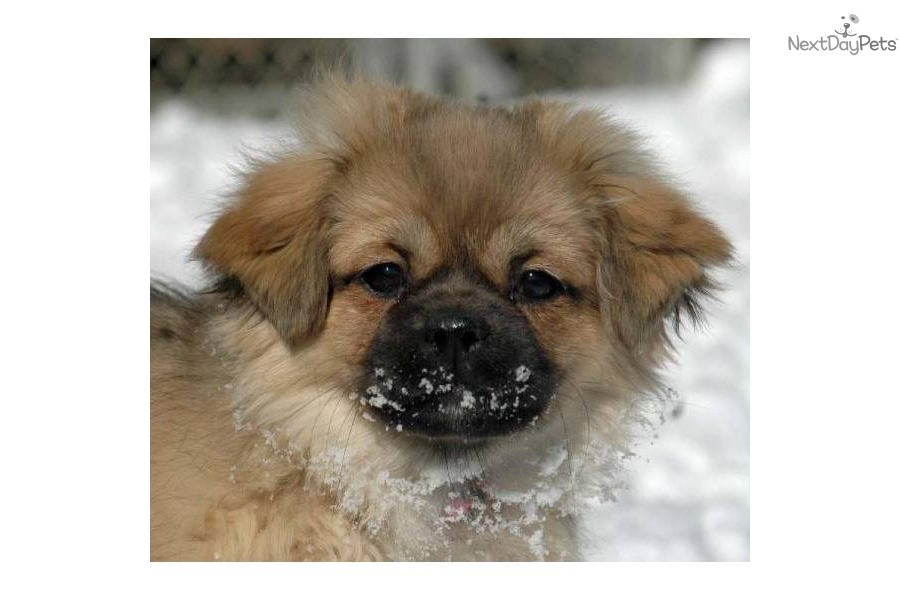 Tibetan Spaniel Puppies: Tibetan Efa Breed