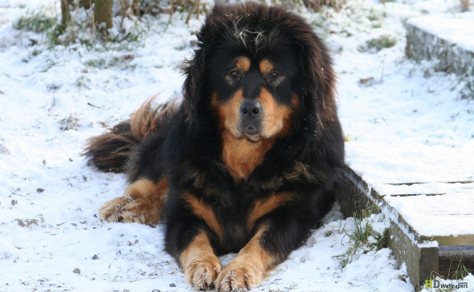Tibetan Mastiff Dog: Tibetan Hd Tibetan Mastiff Dog Breed