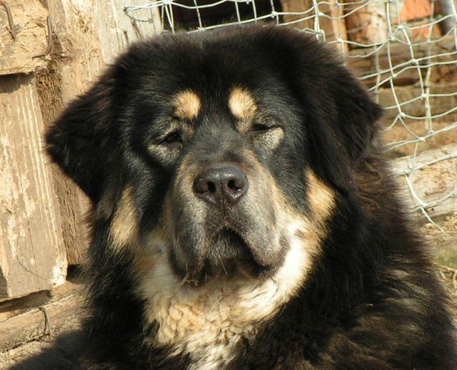 Tibetan Mastiff Dog: Tibetan Httpwwwcompletedogsguidecomsdog Breedslargepictibetan Mastiffjpg
